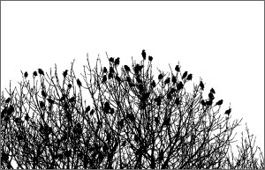 Ash Trees and Starlings card